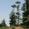 naldehra trees.jpg