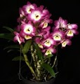 Dendrobium Orchid (Dendrobium) Air purifier Plant