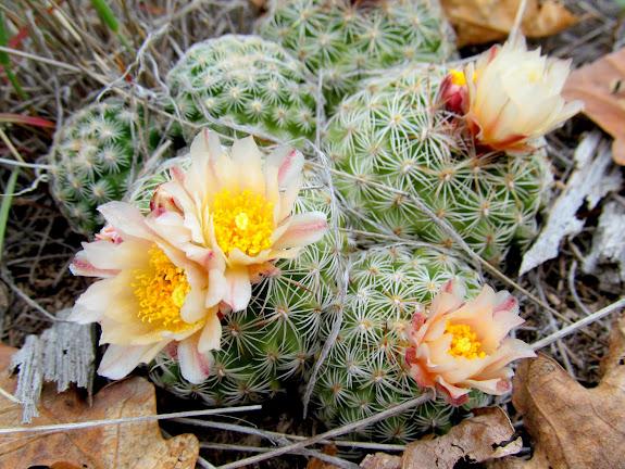 Simpson's Pincushion Cactus (Pediocactus simpsonii)