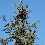 White Spruce with cones