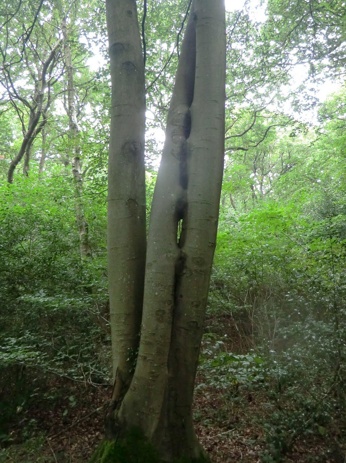 CIMG4624 Kissing trees, Bedelands Farm Nature Reserve