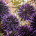 Purple%252520sea%252520urchin%252520strongylocentrotus%252520purpuratus%252520%25252812%252529