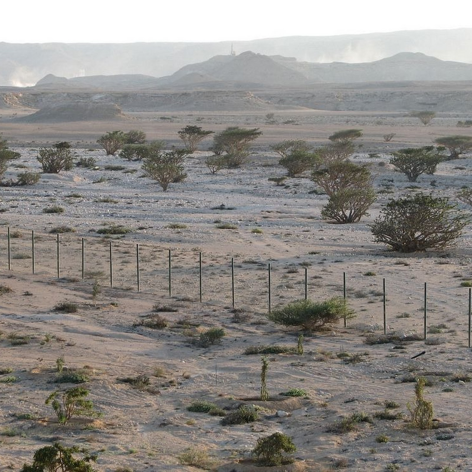 The Frankincense Trees of Wadi Dawkah