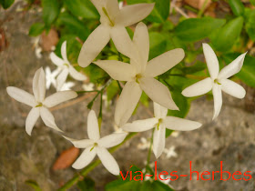 Fleurs de jasmin.jpg
