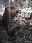 Kleine Mini Känguru Familie