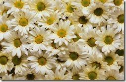 margaritas flores (13)
