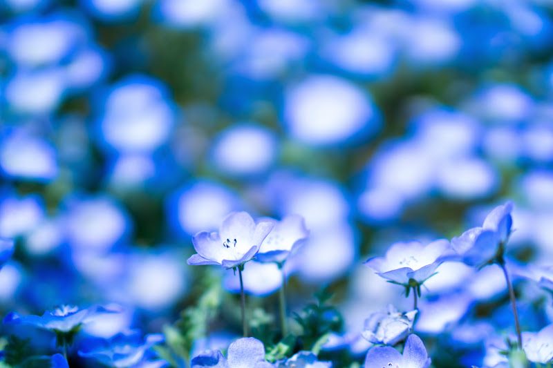 Hitachi Seaside Park Nemophila (baby blue eyes flowers) photo2