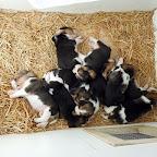Kedvencek / Beagle kölykök – Szigethalom, 2012