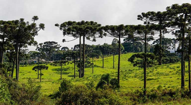 The government of Brazil wants to cut protections for the last areas of the planet where the unique Araucaria forests (Araucaria Angustifolia) grow. Photo: Daniel Castellano
