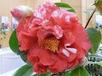 紅色地 白斑入り 八重〜千重咲き 大輪
