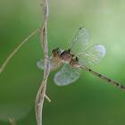 Dingy Duskflyer (Female)