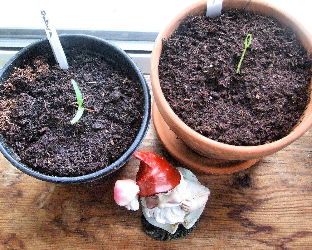 Datura Stramonium Seeds