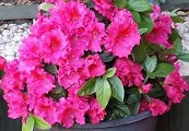 Azalea Plant in Pot