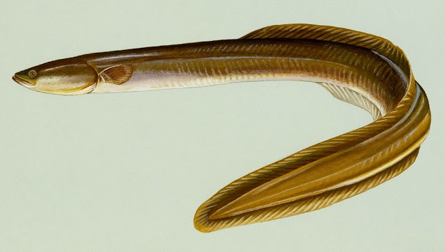 American Eel - a species experiencing a precipitous decline