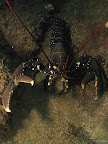 Lobster: a lobster backs into a crevice and warns off the camera
