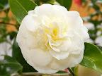 白色 中央はレモン色 唐子〜バラ〜八重咲き 小輪