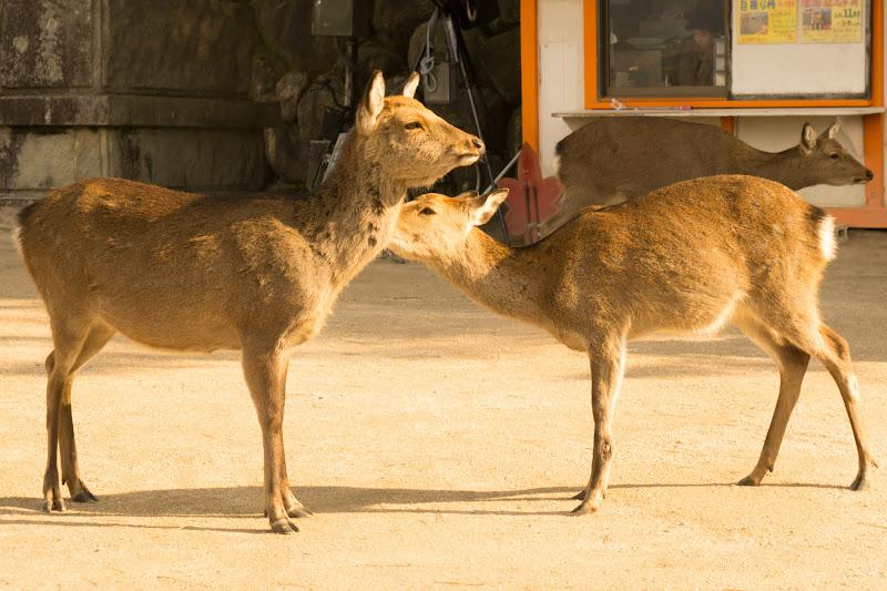 miyajima deer2