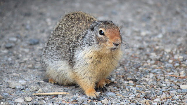 squirrel's can be found everywhere in Banff, Alberta in Calgary, Alberta, Canada