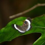 Riodinidae : Semomesia croesus FABRICIUS,1776, femelle. Saül (Guyane). 30 novembre 2011. Photo : J.-M. Gayman