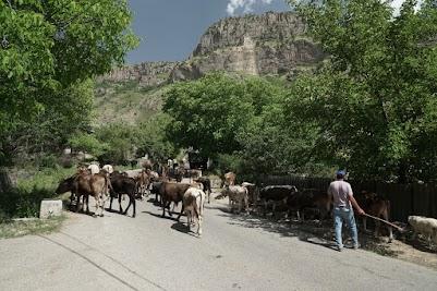 Eine Herde Kühe im Dorf Shatin