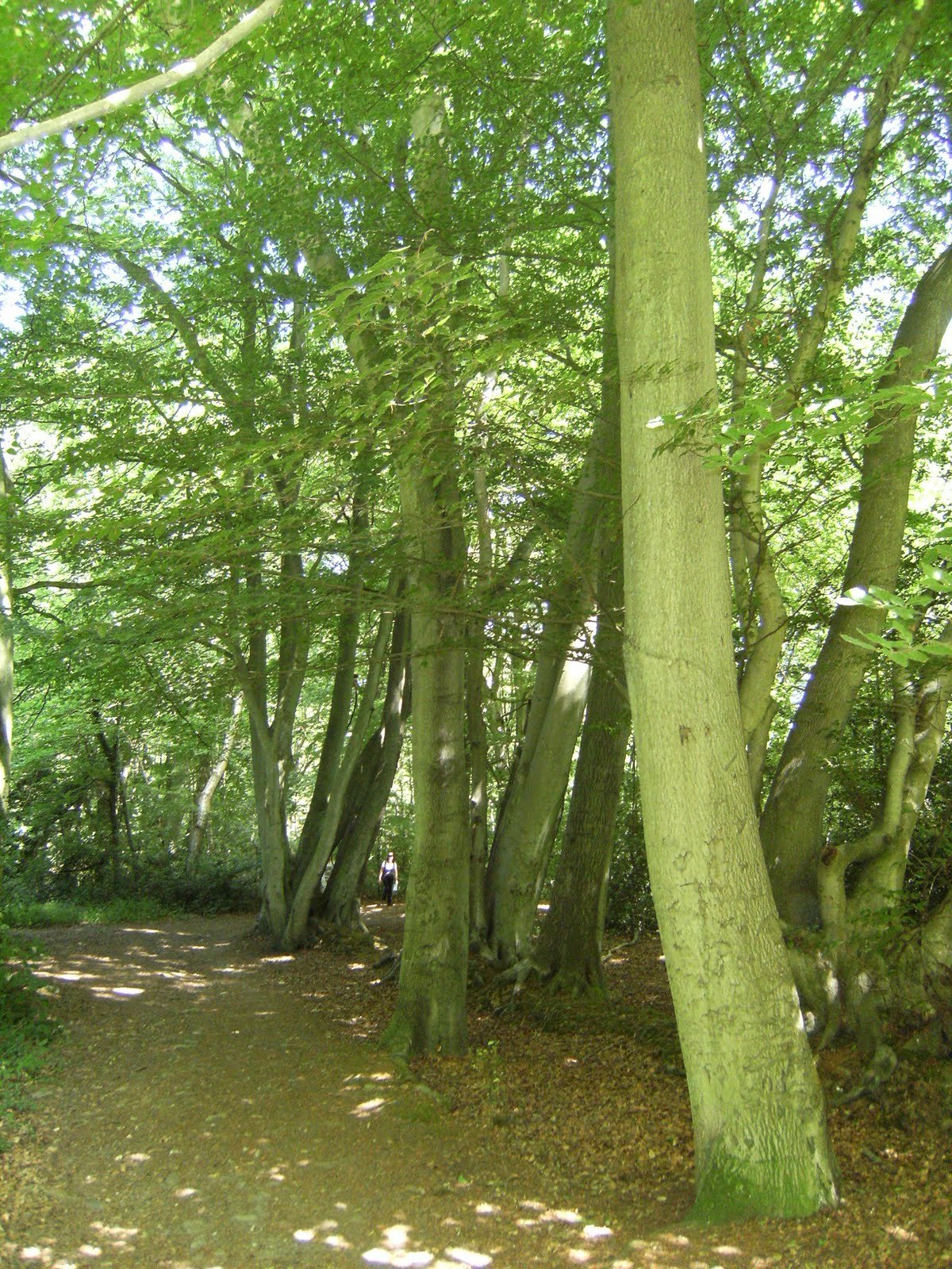 1007100003 Beech trees in summer, The Chart