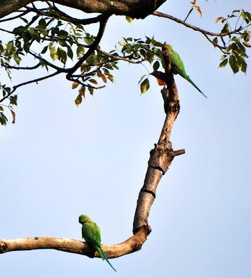 10-Sep-2011 Rose-ringed Parakeets  Pic: Sujesh S.