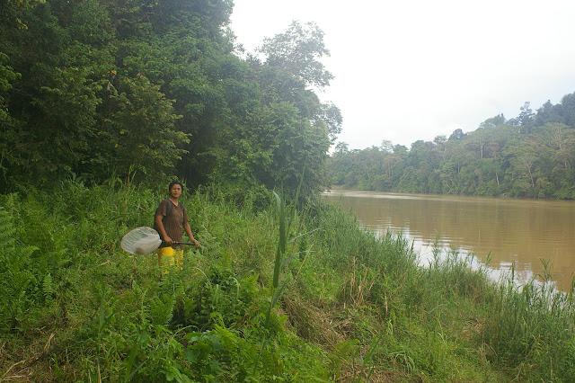 Mislin au bord de la Kinabatangan. Sukau, 13 août 2011. Photo : J.-M. Gayman