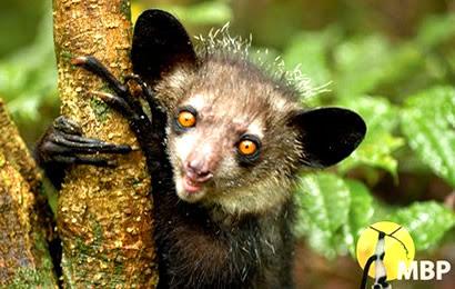 Madagascar's Aye Aye