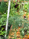 DILL - Boosts immune system, digestive health, & can protect from bone degradation. Provides relief from insomnia, hiccups, upset stomach, menstrual disorders, respiratory disorders, & cancer.