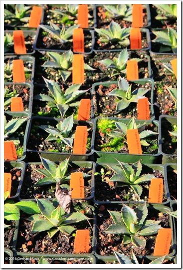 160206_Annies_029_Agave-ovatifolia