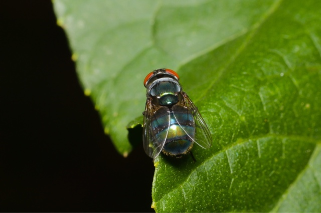 Macro photo - Green Fly