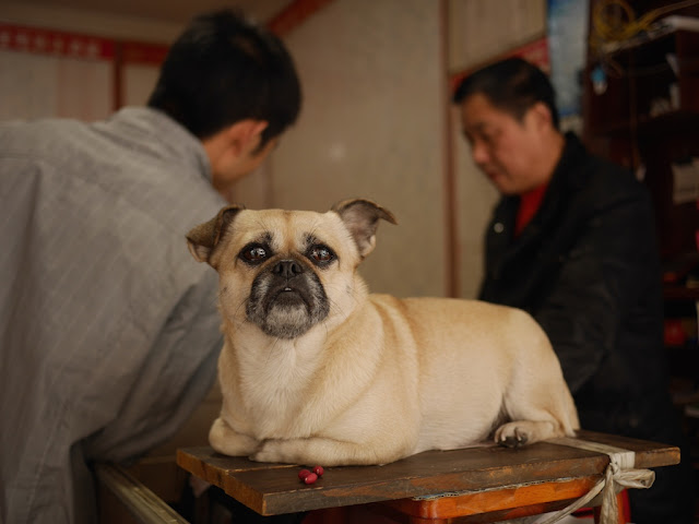 a mutt with a bit of pug sitting on a table in Changsha