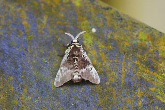 Megalopygidae : Megalopyge albicollis (WALKER, 1855). Tunda Loma à Calderon (Esmeraldas, Équateur), 8 décembre 2013. Photo : J.-M. Gayman