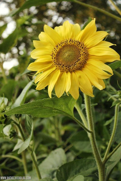 [sunflower8%5B13%5D]