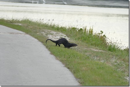 me_ga_sanibel_riverotter