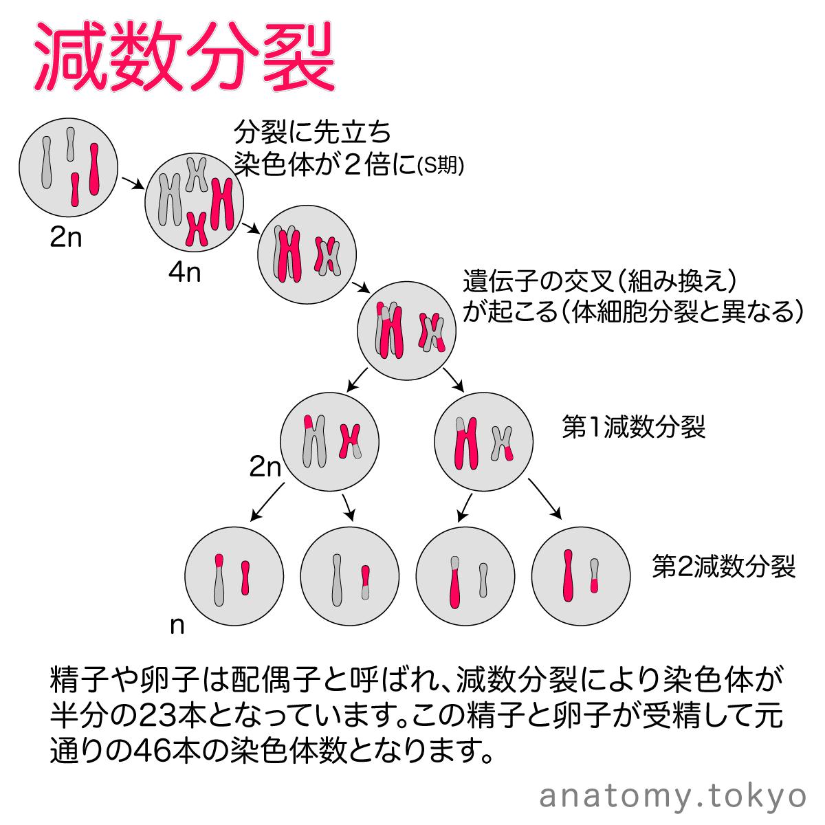 違い と の 分裂 分裂 減数 体 細胞