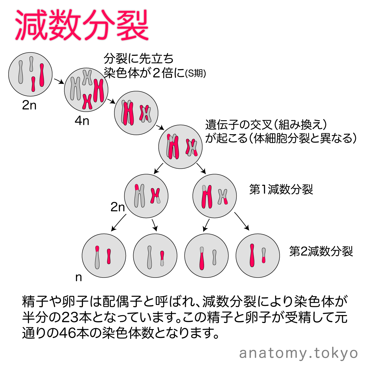 t112-10-精子や卵子は減数分裂を行うため、染色体が半分の23本.png