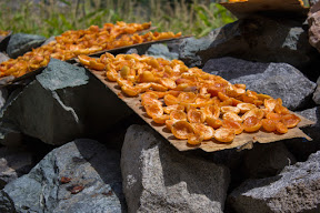 Drying apricots in Chahche village, Ghizer.