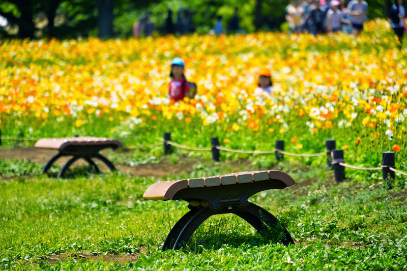 Showa Kinen Park Iceland poppy photo4