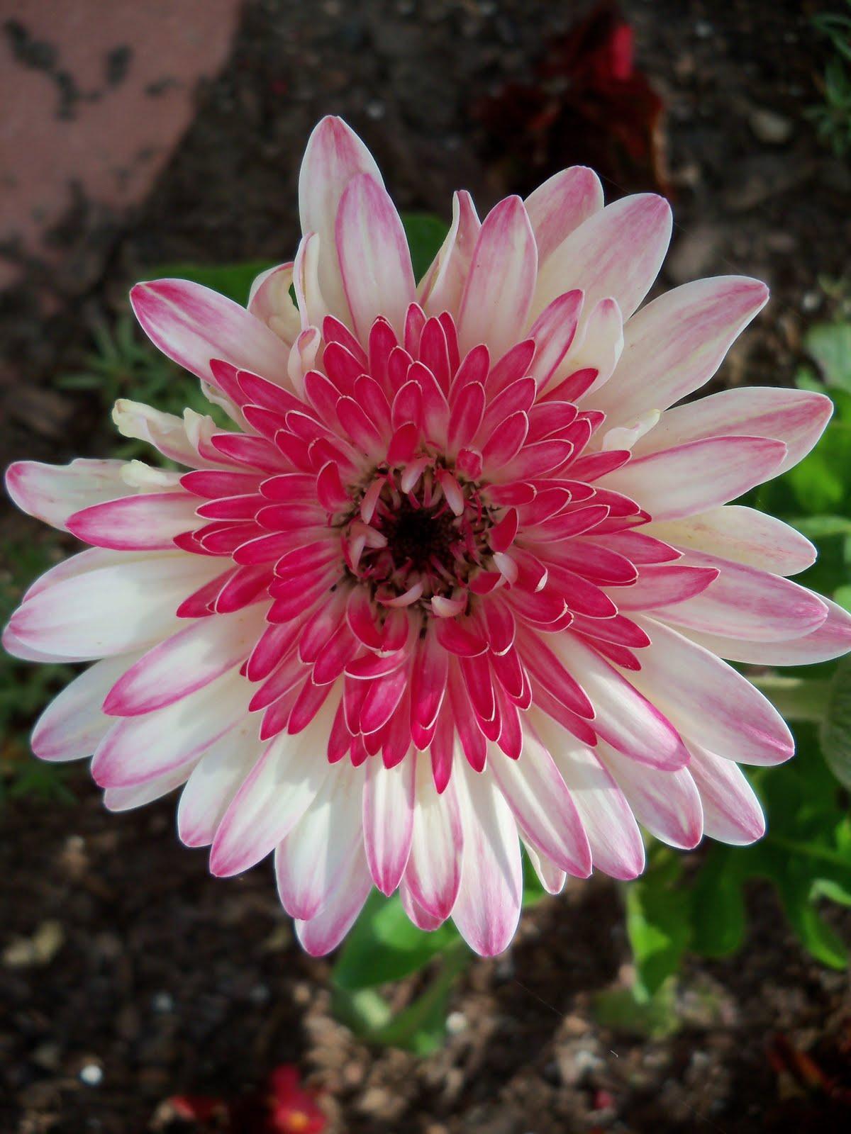 Gardening 2010 - 101_1001.JPG