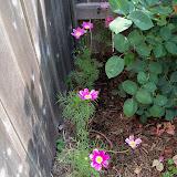 Gardening 2010, Part Two - 101_1924.JPG