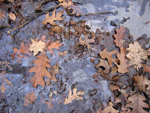 Photo: Leaves in ice, 11.24