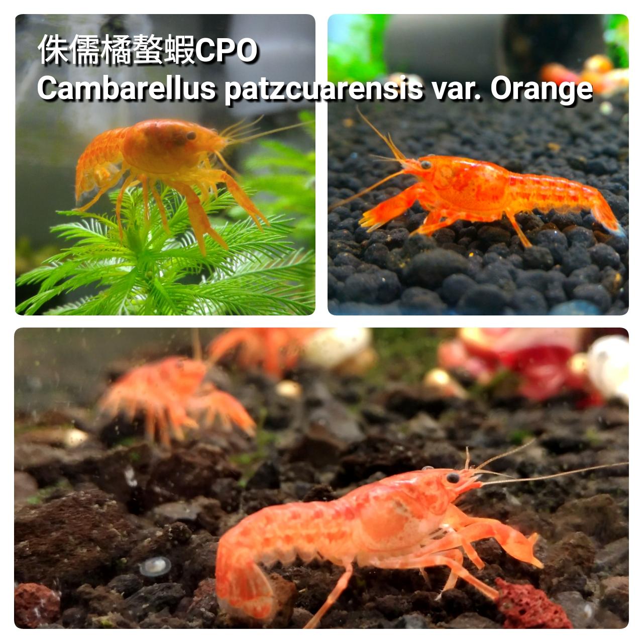 蝦兵魚匠: 侏儒橘螯蝦