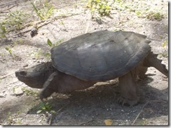 Snapping turtle-2