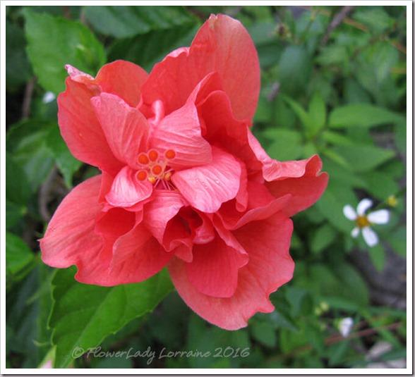04-04-hibiscus