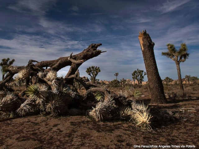 A Joshua Tree at Joshua Tree National Park pulled down by vandals in January 2019, during the U.S. partial government shutdown. Photo: Daniel Schneider / Twitter