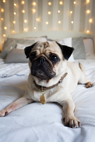 Lifestyle | Why Pugs Make The Best Pet