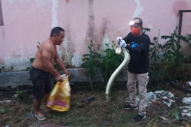 Kepala Baguna PDIP Pulang Pisau Tangkap Ular Dipong di Lingkungan Rumah Warga