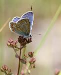Almindelig blåfugl, icarus3.jpg
