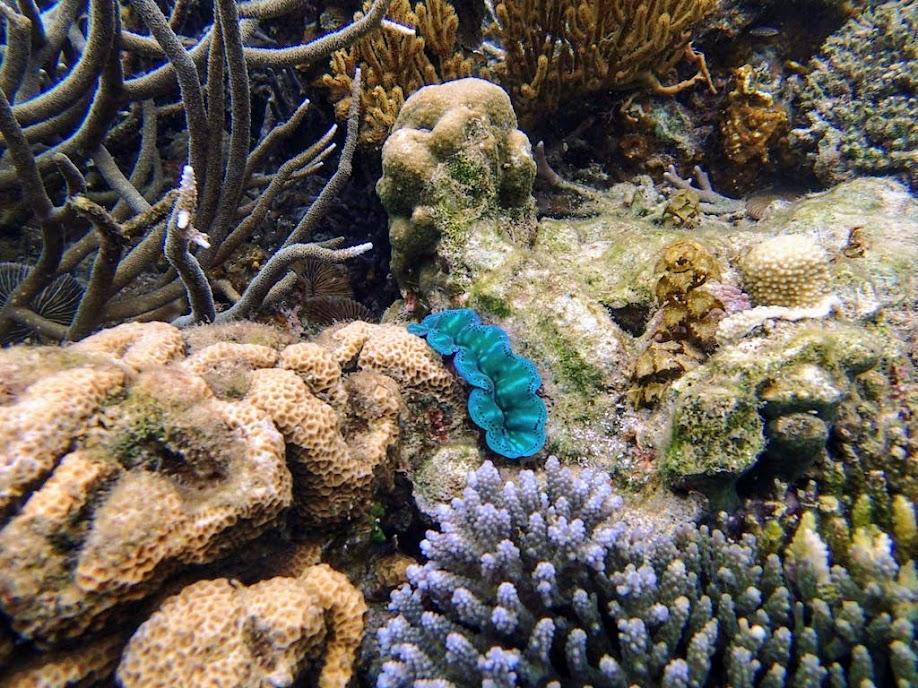 Tridacna crocea (Boring Clam), Lusong Island, Coral Garden Reef, Palawan, Philippines.
